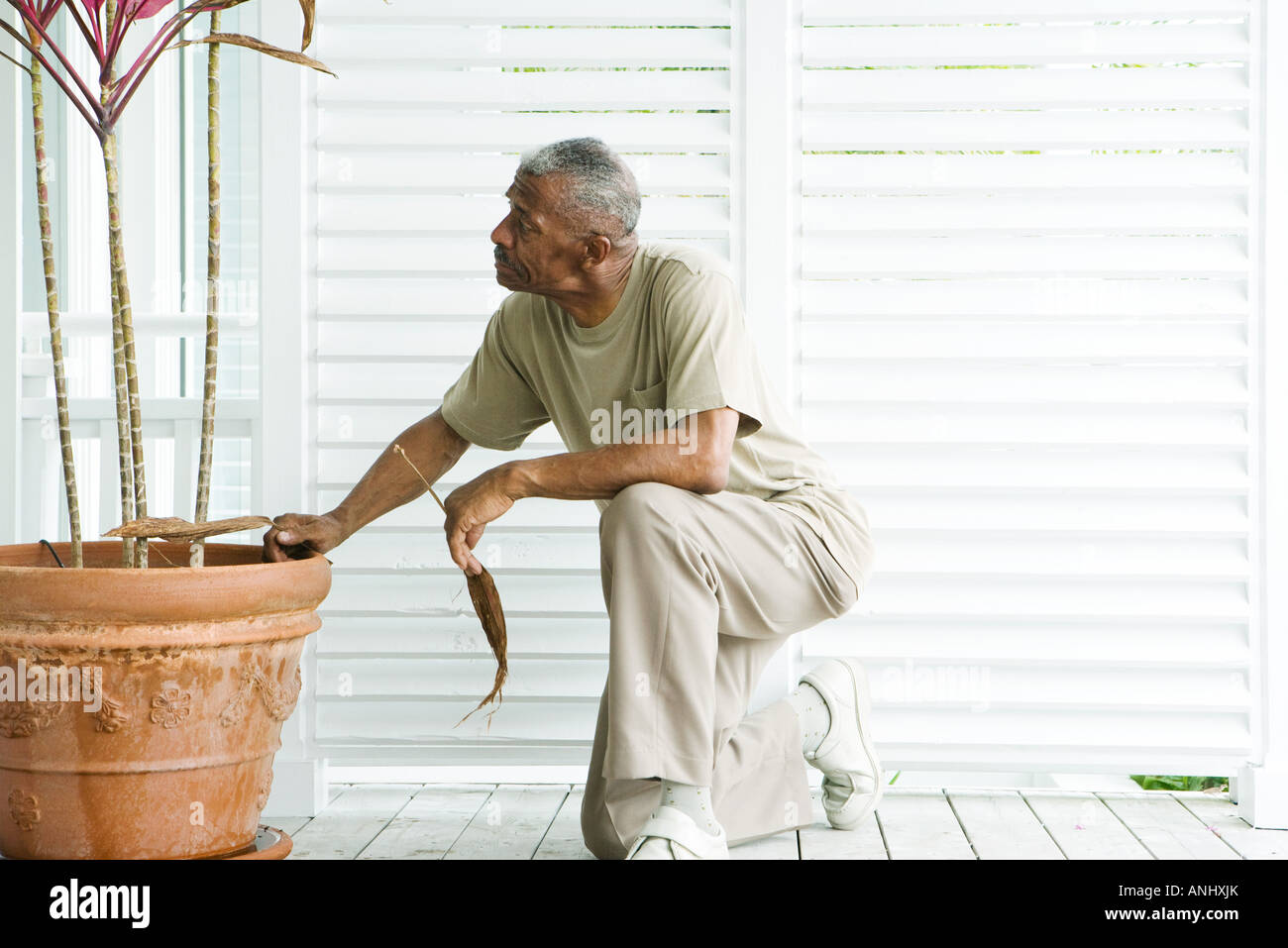 Man kneeling next to potted plant, holding dried leaves in hands - Stock Image