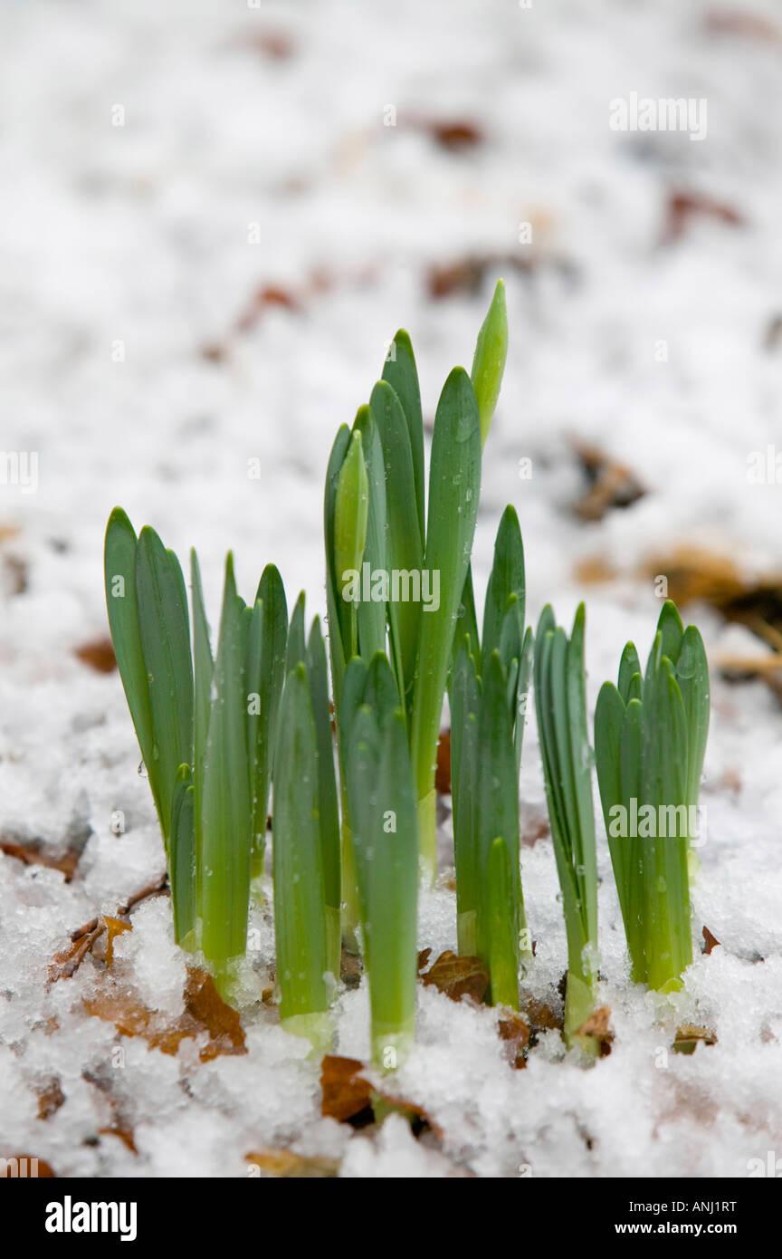 Daffodils pushing up through melting snow Ambleside UK - Stock Image
