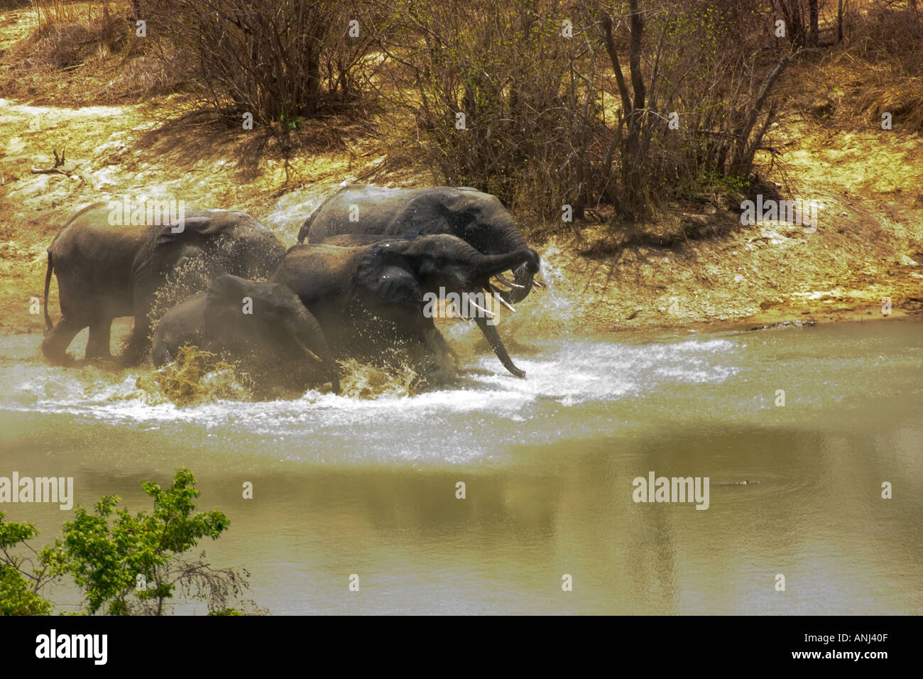 Elephants flee in panic through a waterhole on hearing two shots from a poacher s rifle Mole National Park Northern Stock Photo