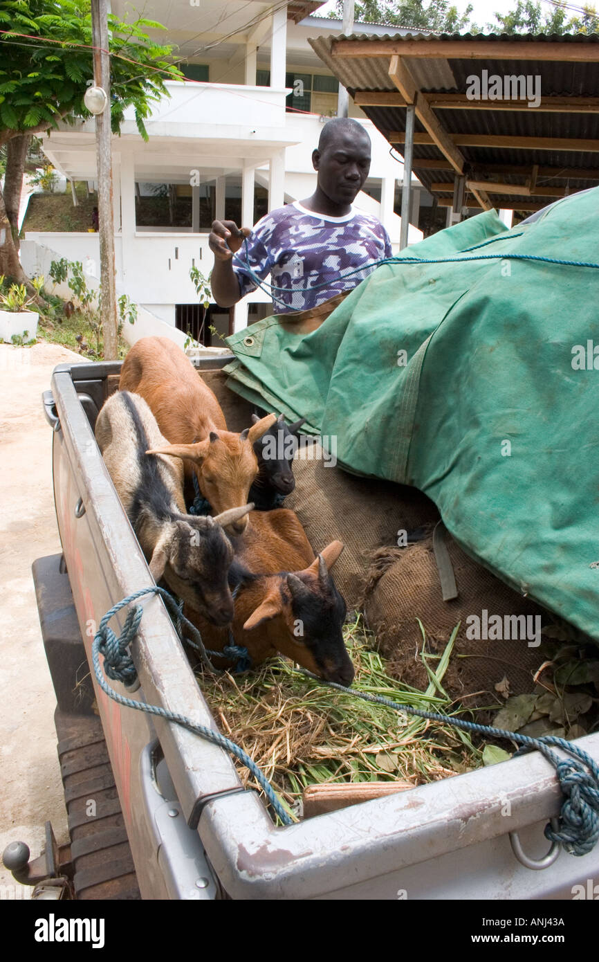 Driver inspects his goats purchased in Northern Ghana transported south to Accra - Stock Image