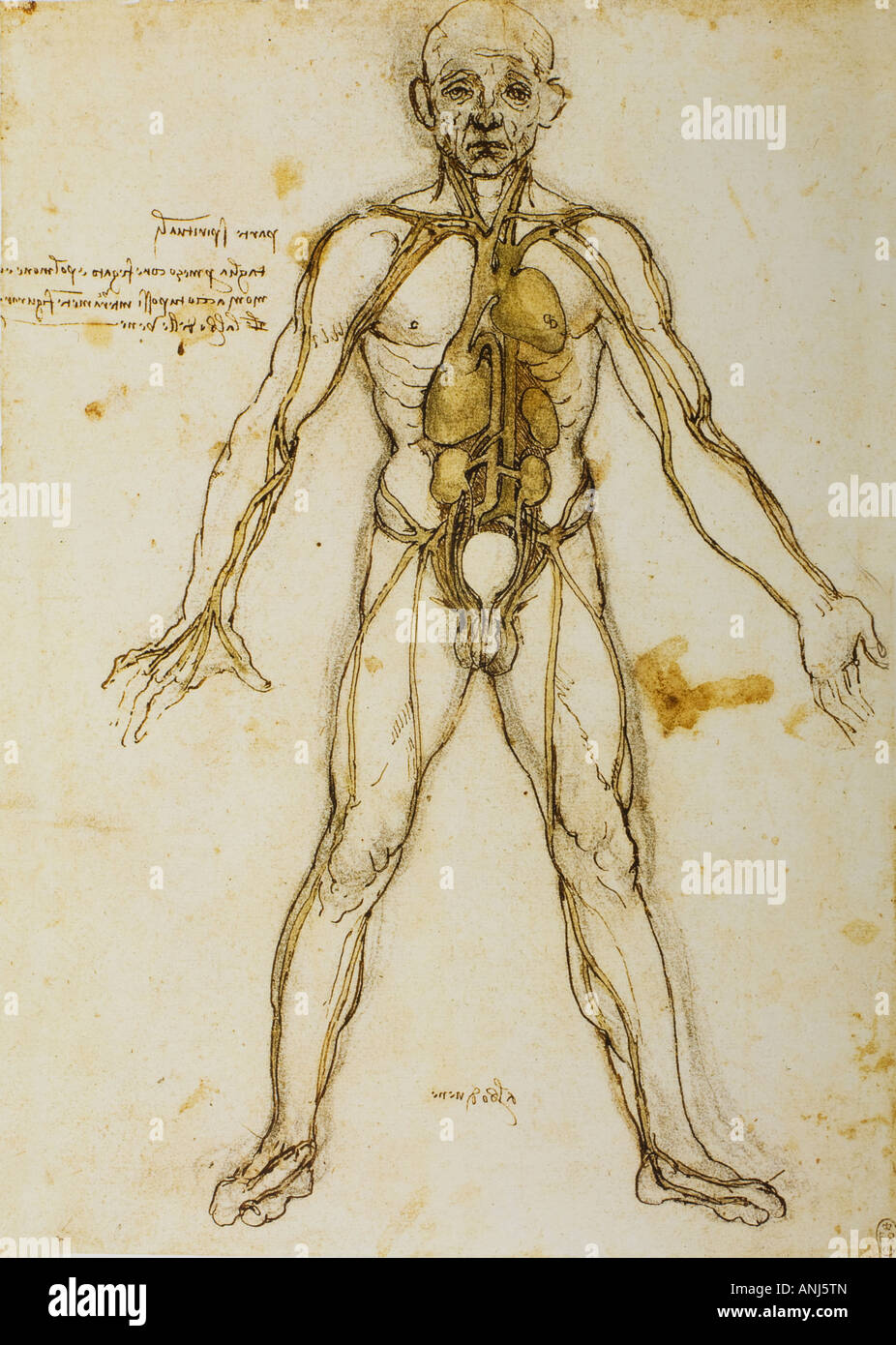 The Tree Of The Vessels Anatomical Figure Showing Heart Liver