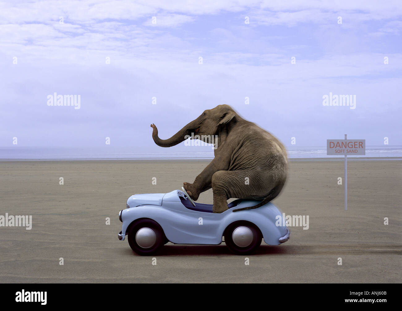 Elephant driving small blue car on beach - Stock Image