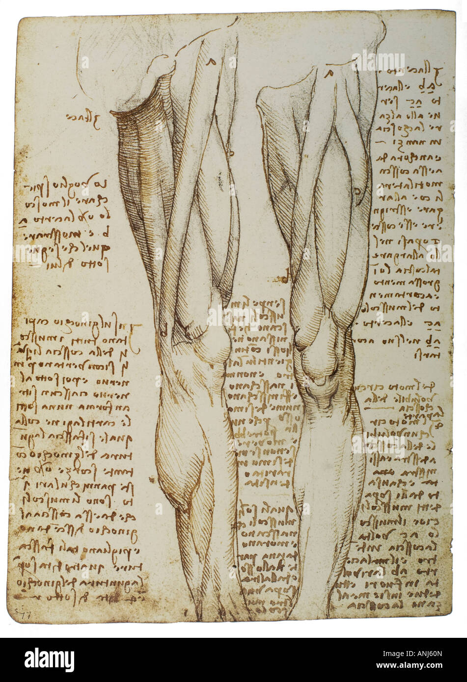 Anatomical study of muscles of the legs by Leonardo da Vinci Stock ...