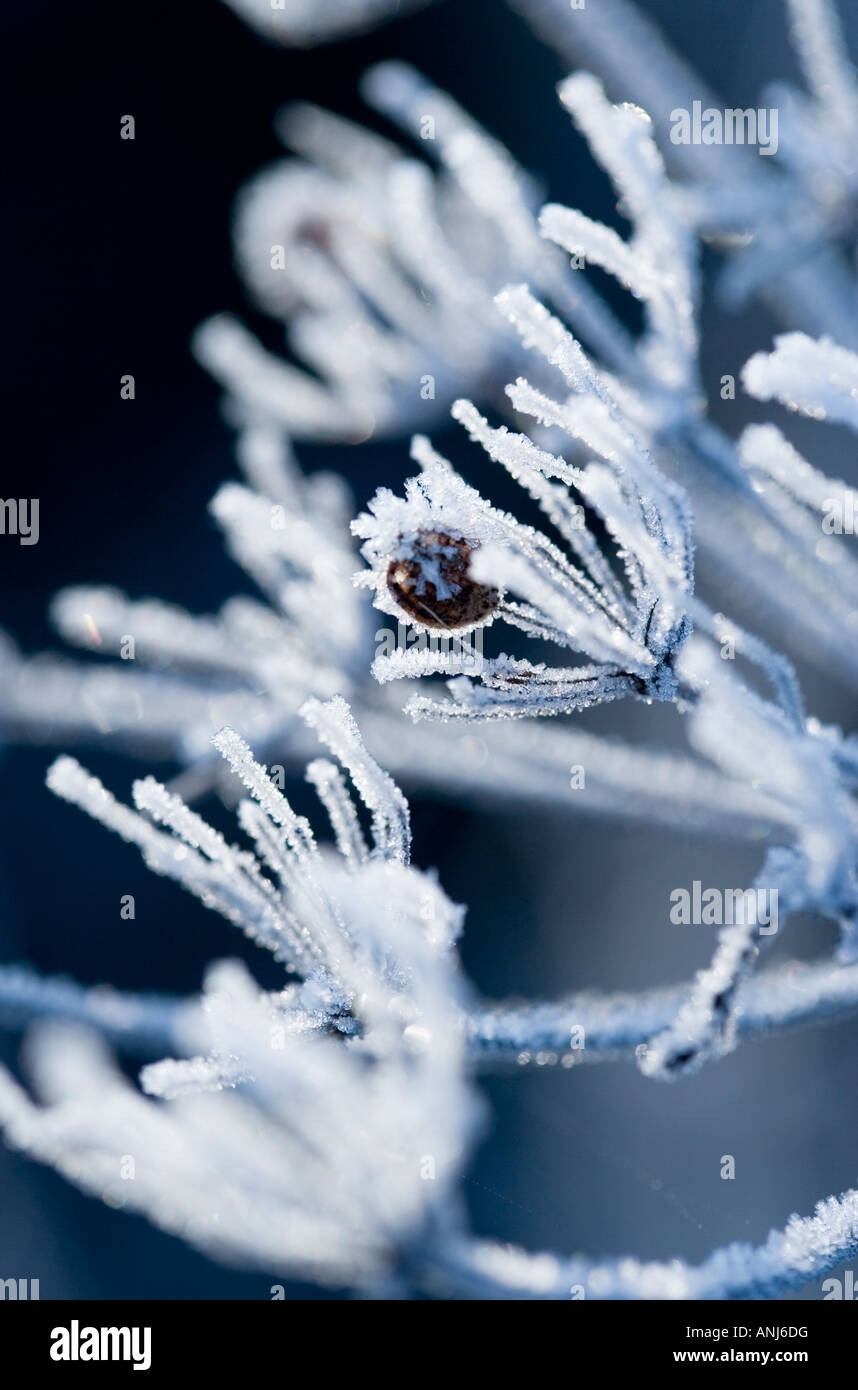 Frosted seedheads - Stock Image