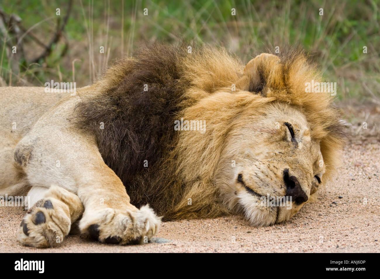 Mature black-maned lion