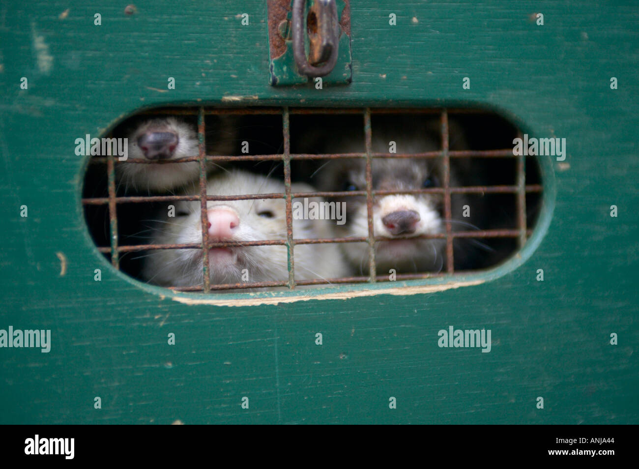 Ferrets being transported in box - Stock Image