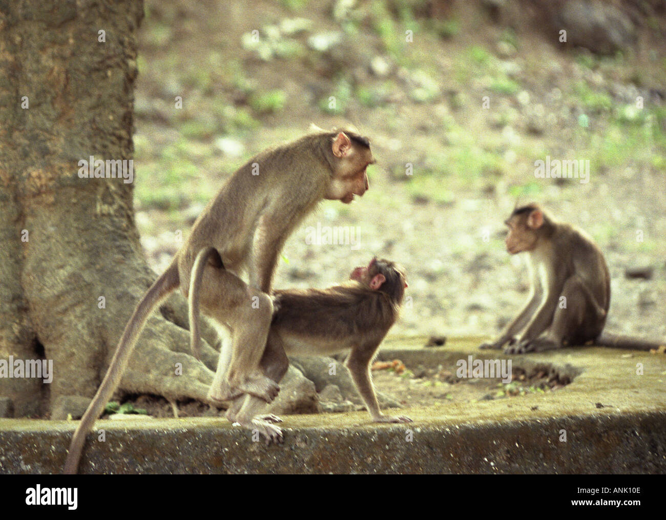 Monkys having sex