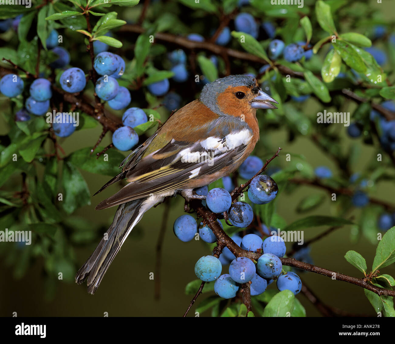chaffinch on twig with berries / Fringilla coelebs - Stock Image