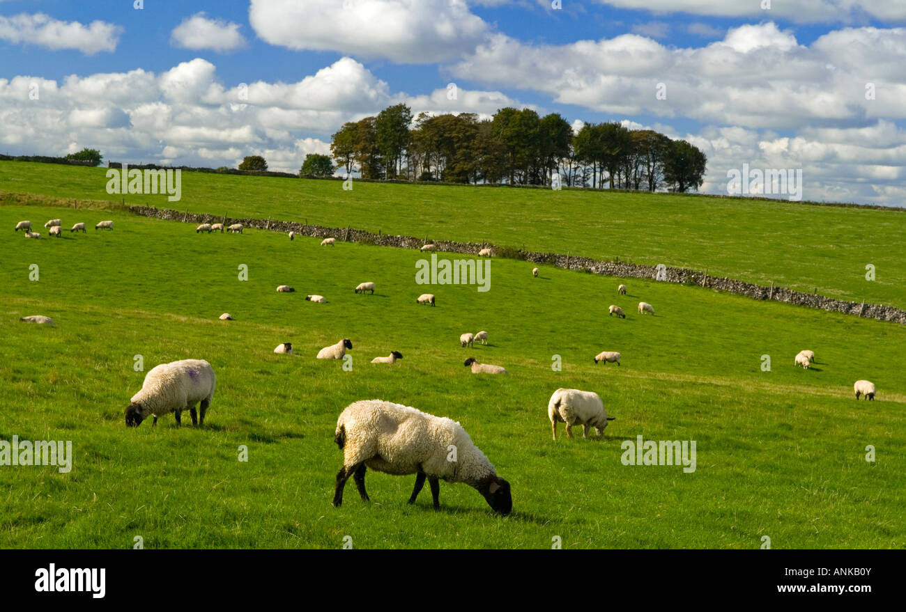 Sheep grazing near Bakewell in the Peak District National Park Derbyshire England UK with trees in the background - Stock Image