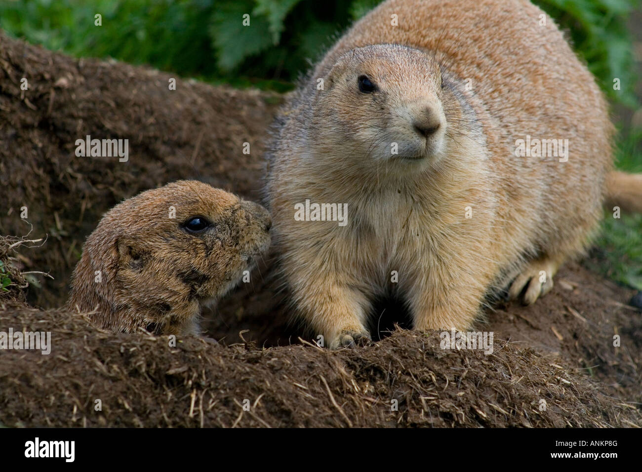Two black tailed prairie dogs or marmots (cynomis ludovicianus) at Auchingarrich Wildlife Centre in Scotland. - Stock Image