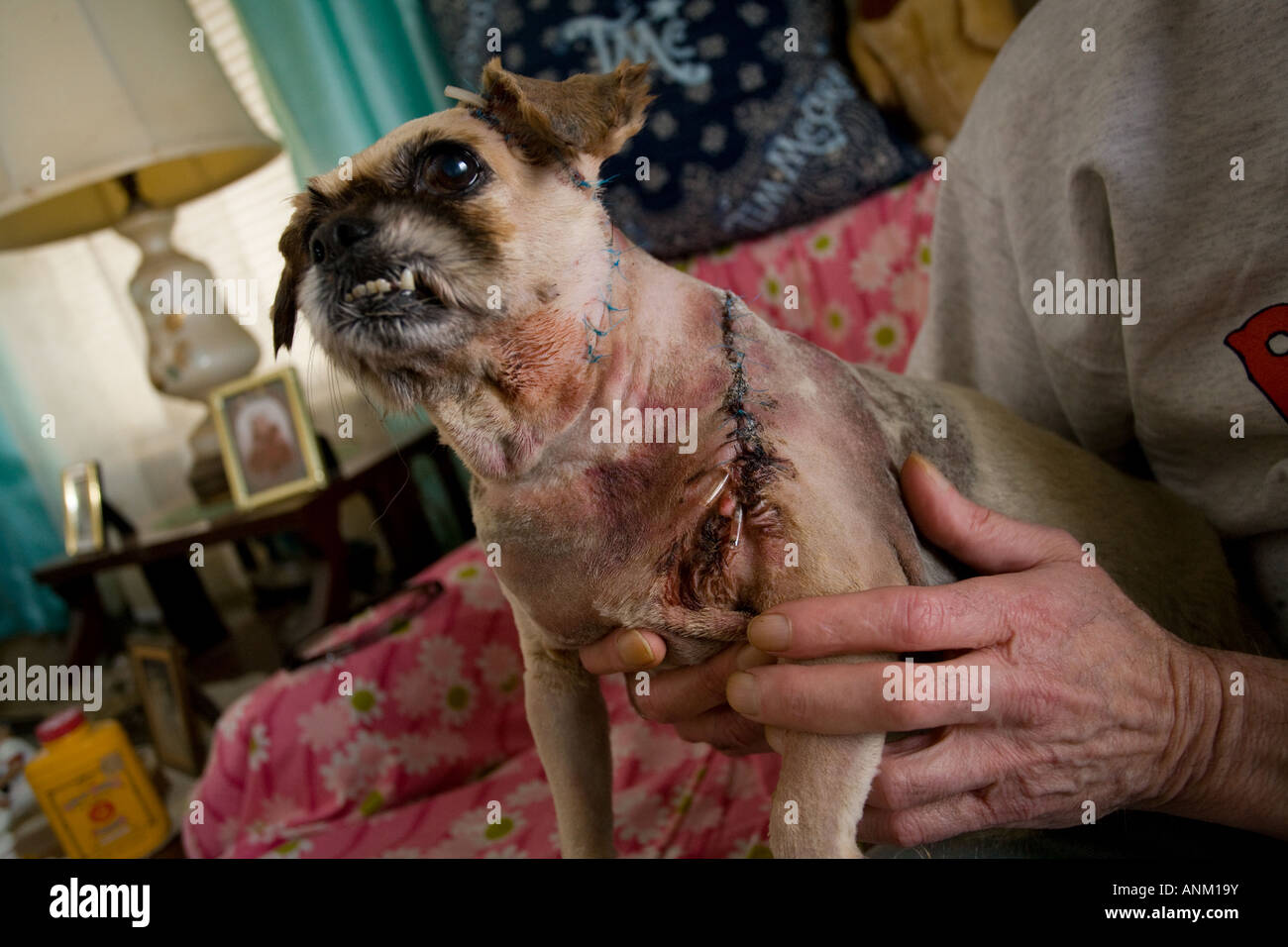 A man holds his small dog that was brutally slashed with a knife by kids and received hundreds of stitches - Stock Image
