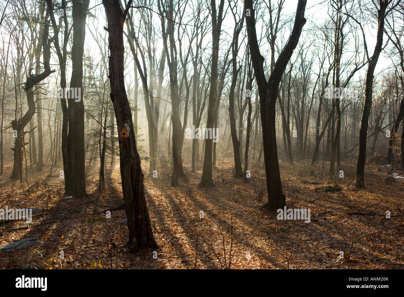 Forest with mist and fog in early morning in Madison, Connecticut USA. 'New England'. - Stock Image