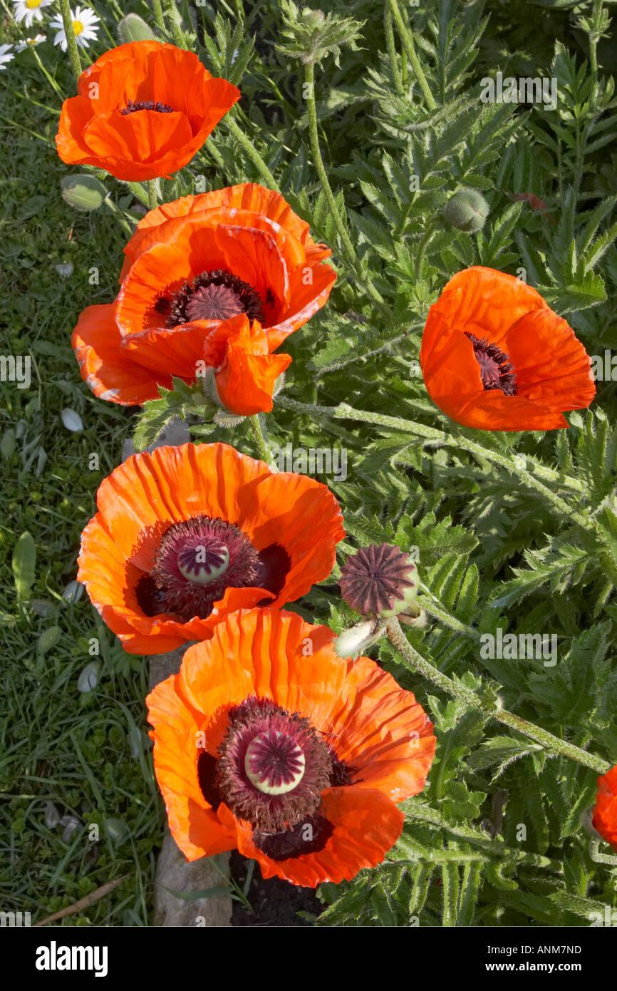 Red Oriental Poppy Flowers Growing In Garden Scientific Name Stock
