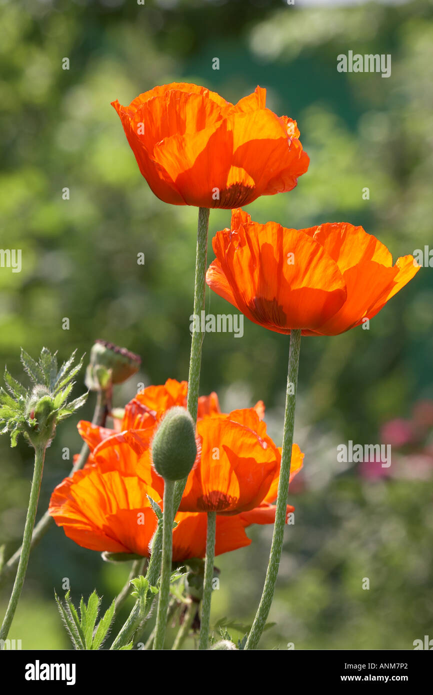 The Oriental Poppy Scientific Name Papaver Orientale Stock Photos