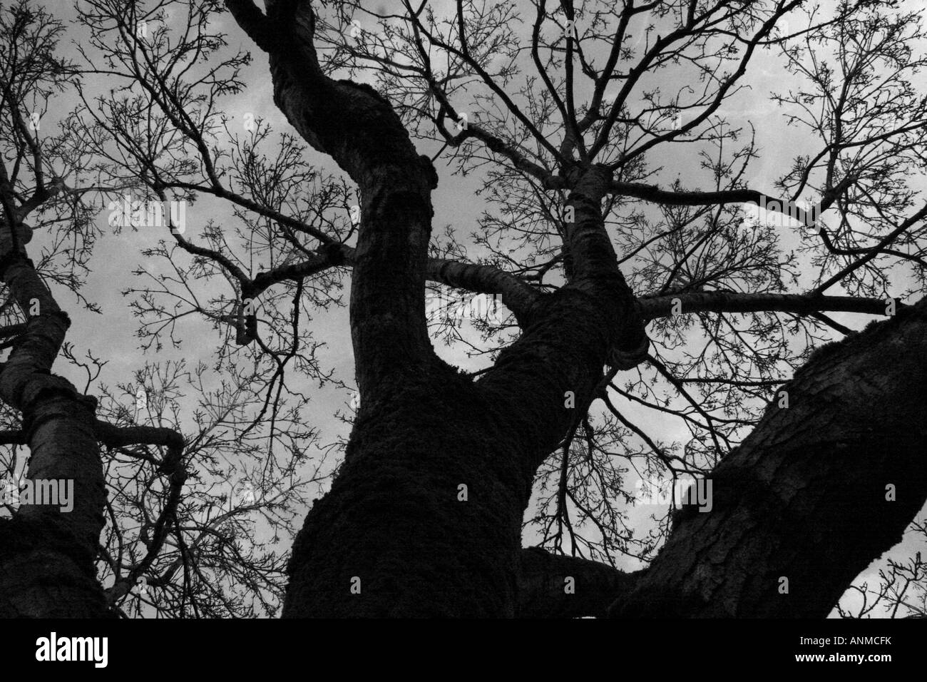 A silhouette of a tree showing branching and delineation of limbs and smaller branches - Stock Image