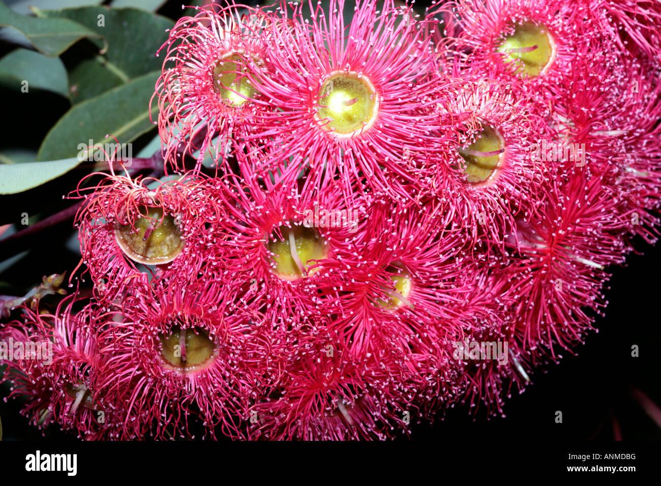 Western australian red flowering gum flowers and fruit eucalyptus western australian red flowering gum flowers and fruit eucalyptus ficifolia mightylinksfo