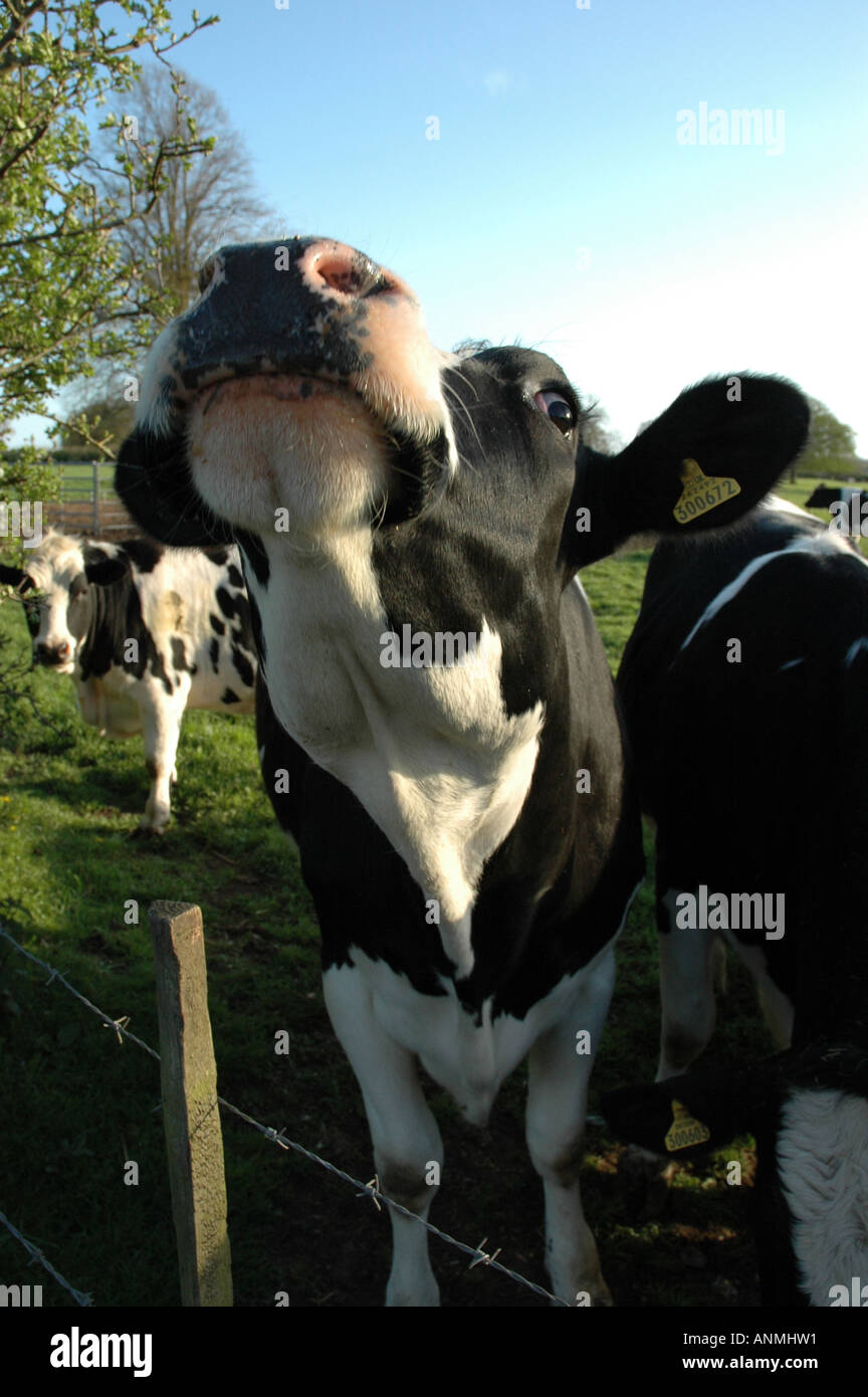 Amusing funny humourous close up of cows head in field in Hampshire England United Kingdom - Stock Image