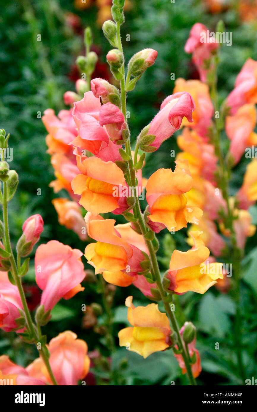 Close Up Of A Stalk Of Yellow And Pink Flowers In A Garden In Munnar