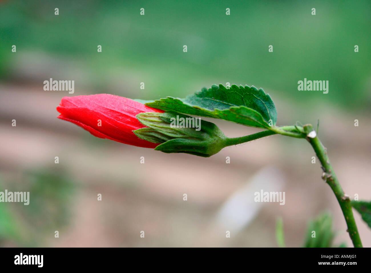Close up of a red hibiscus bud in munnar kerala stock photo close up of a red hibiscus bud in munnar kerala izmirmasajfo