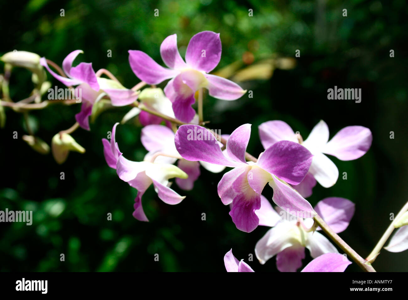 Close Up Of A Stalk Of Purple And White Orchid Flowers In A Green