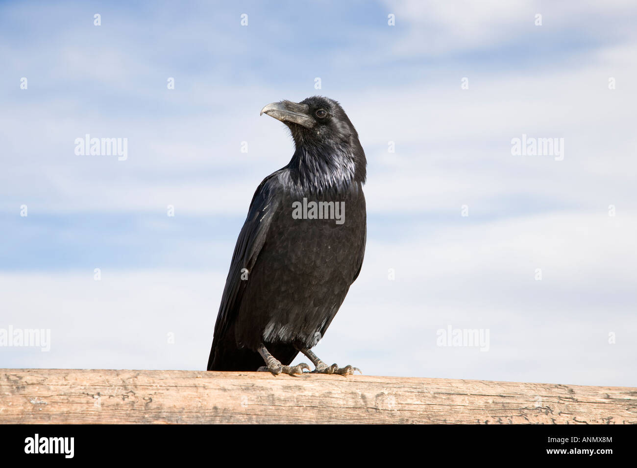 Black Raven standing on a timber, blue sky with clouds - Stock Image