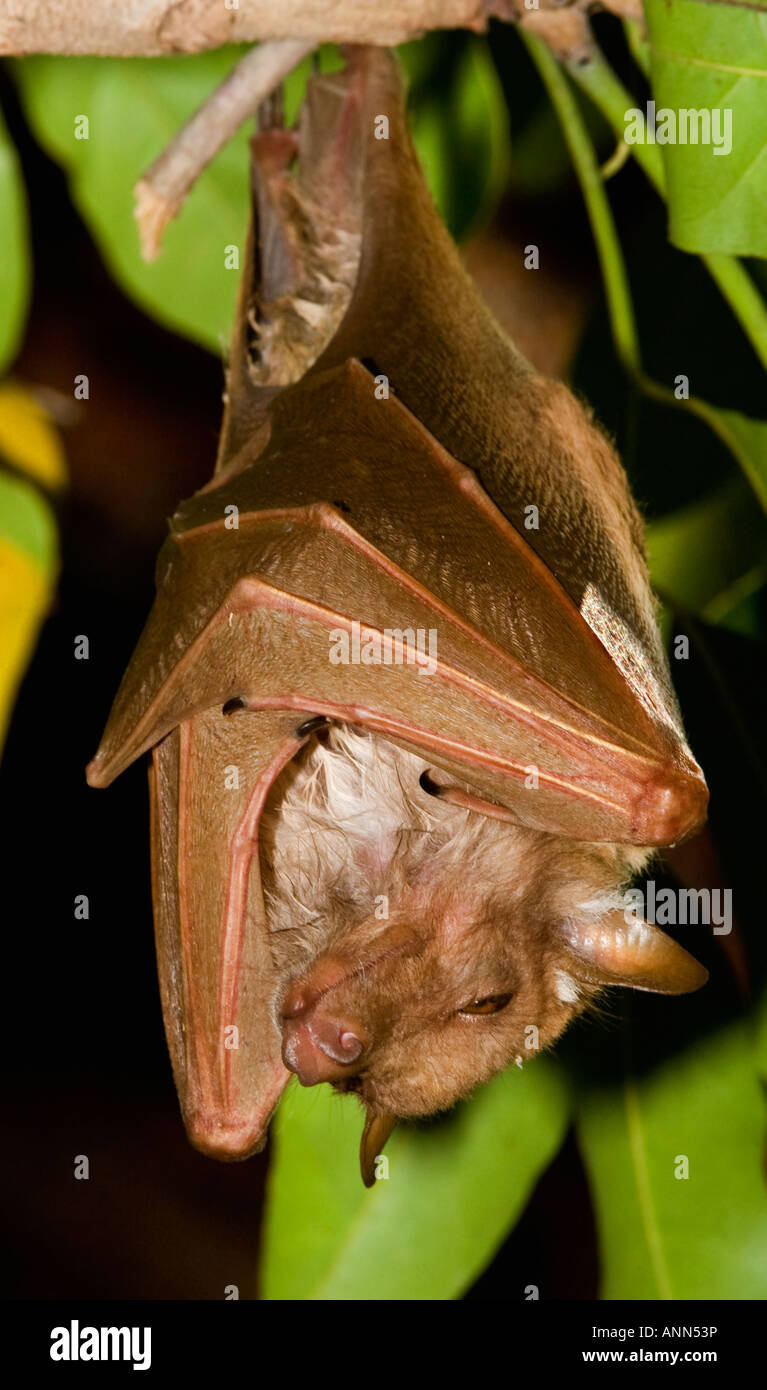 Fruit bat hanging in tree, Greater Kruger National Park, South Africa Stock Photo