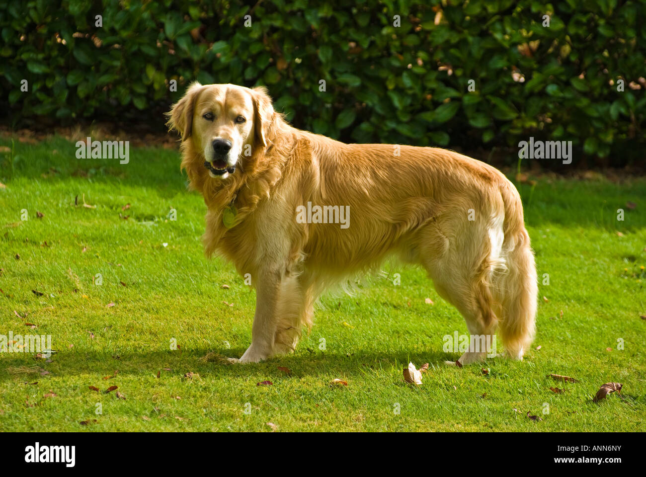 Male Golden Retriever Dog Standing Broadside On A Lawn In His Garden