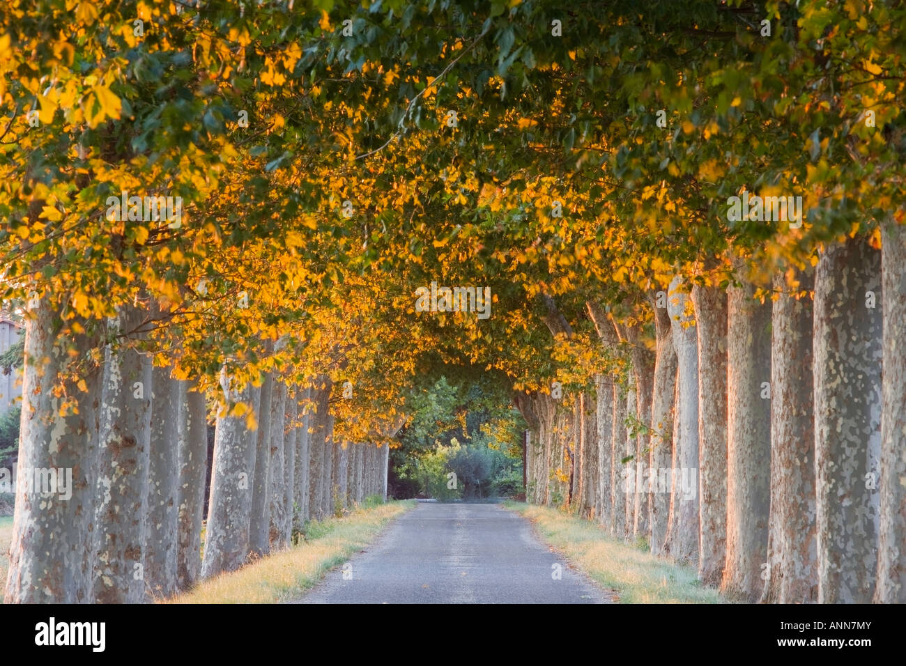 France Languedoc Roussillon Provence Tree Lined avenue - Stock Image