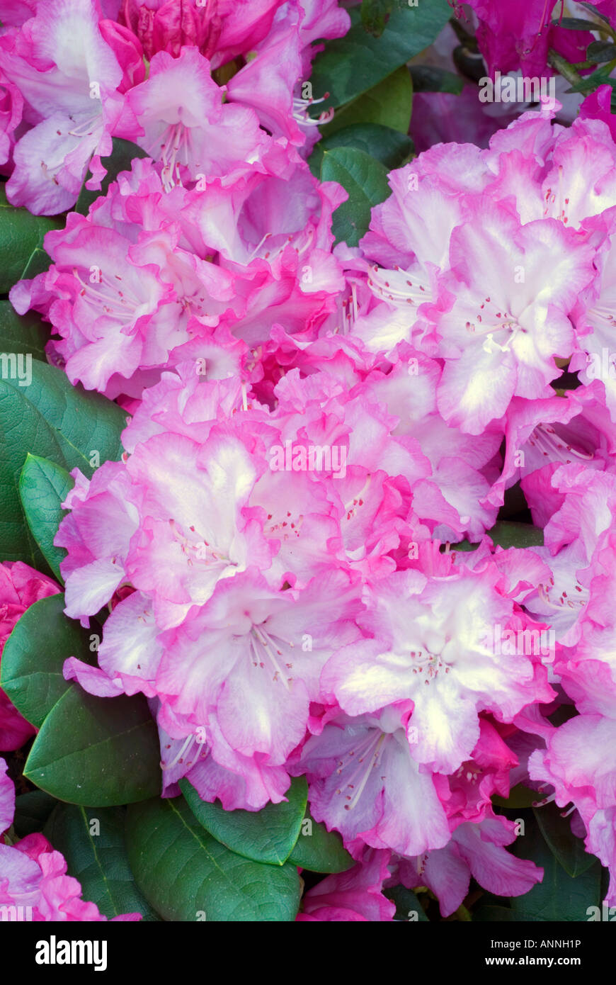 Rhododendron Blurettia Picotee Pink White Closeup Close Up Flowers