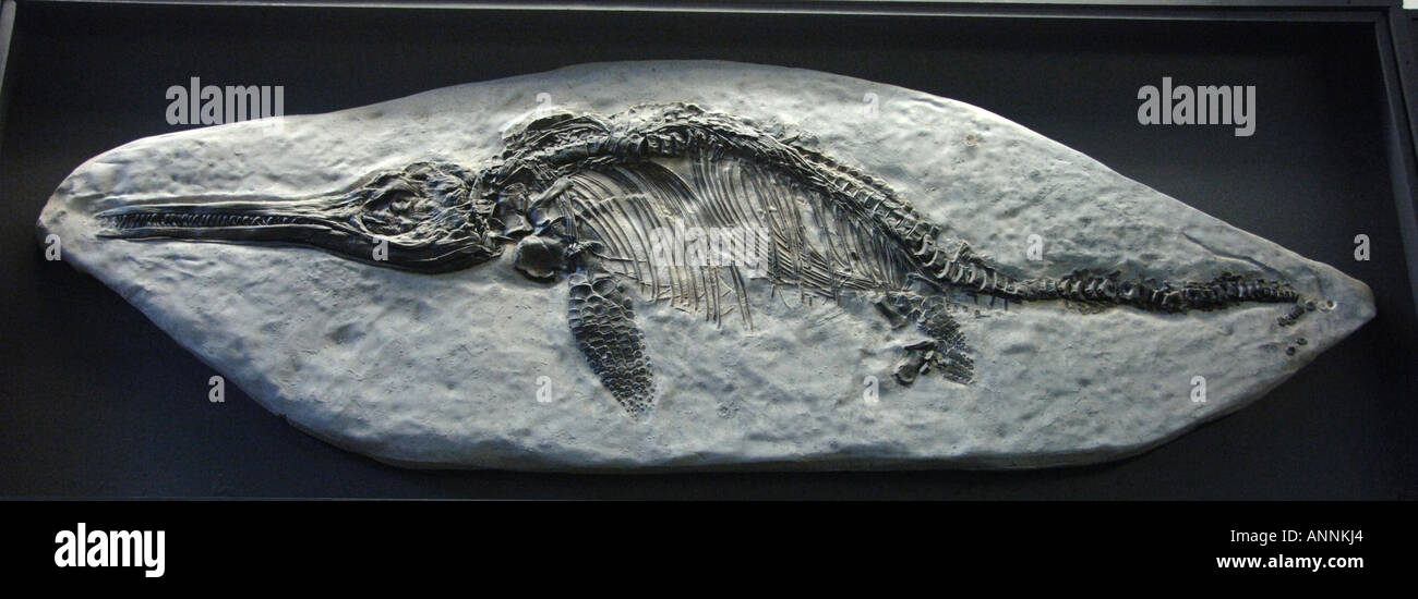 fossil side view of Ichthyosaurus Communis found in uk - Stock Image