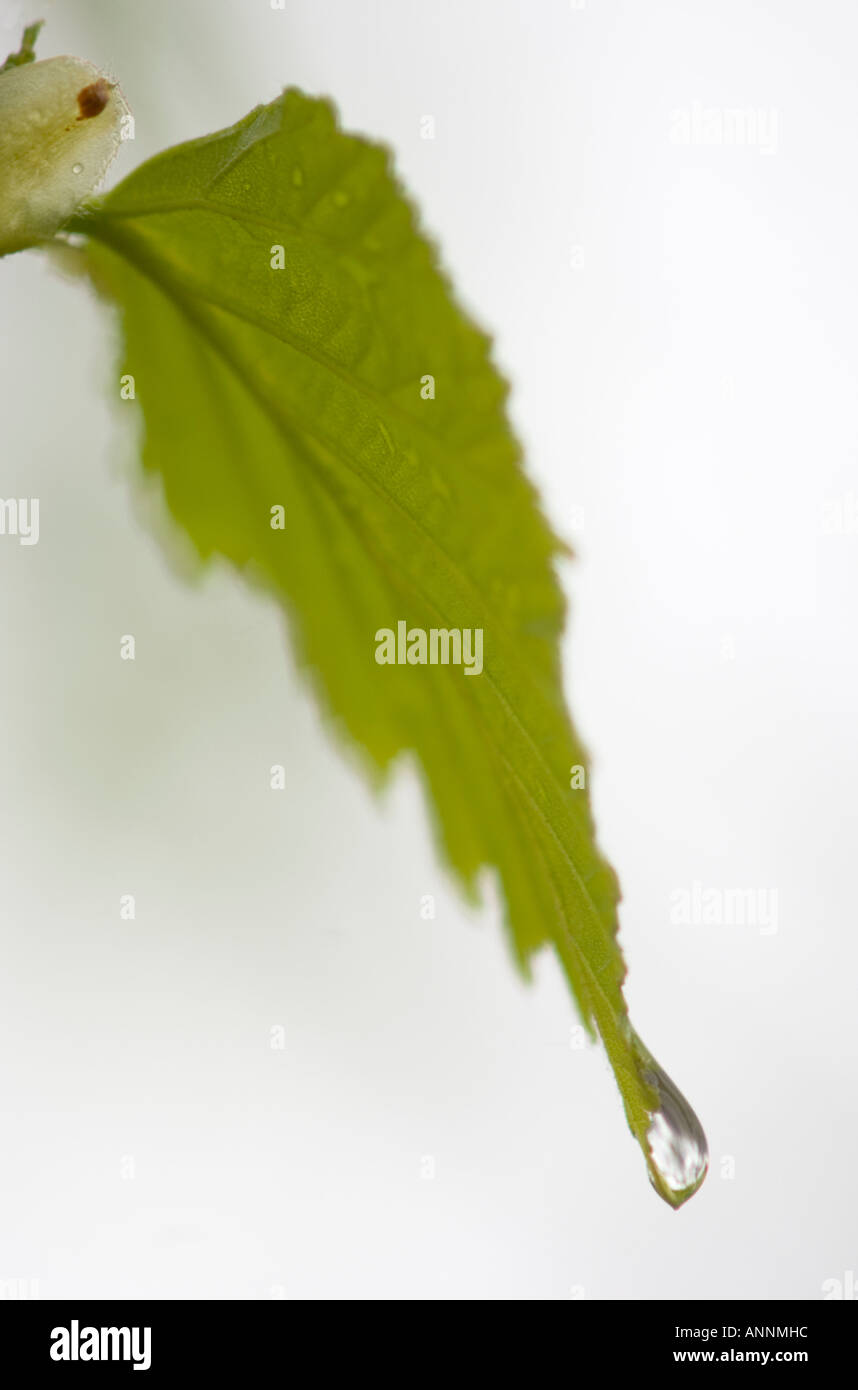 White birch Betula papyrifera Emerging leaf with raindrop Killarney, Ontario - Stock Image
