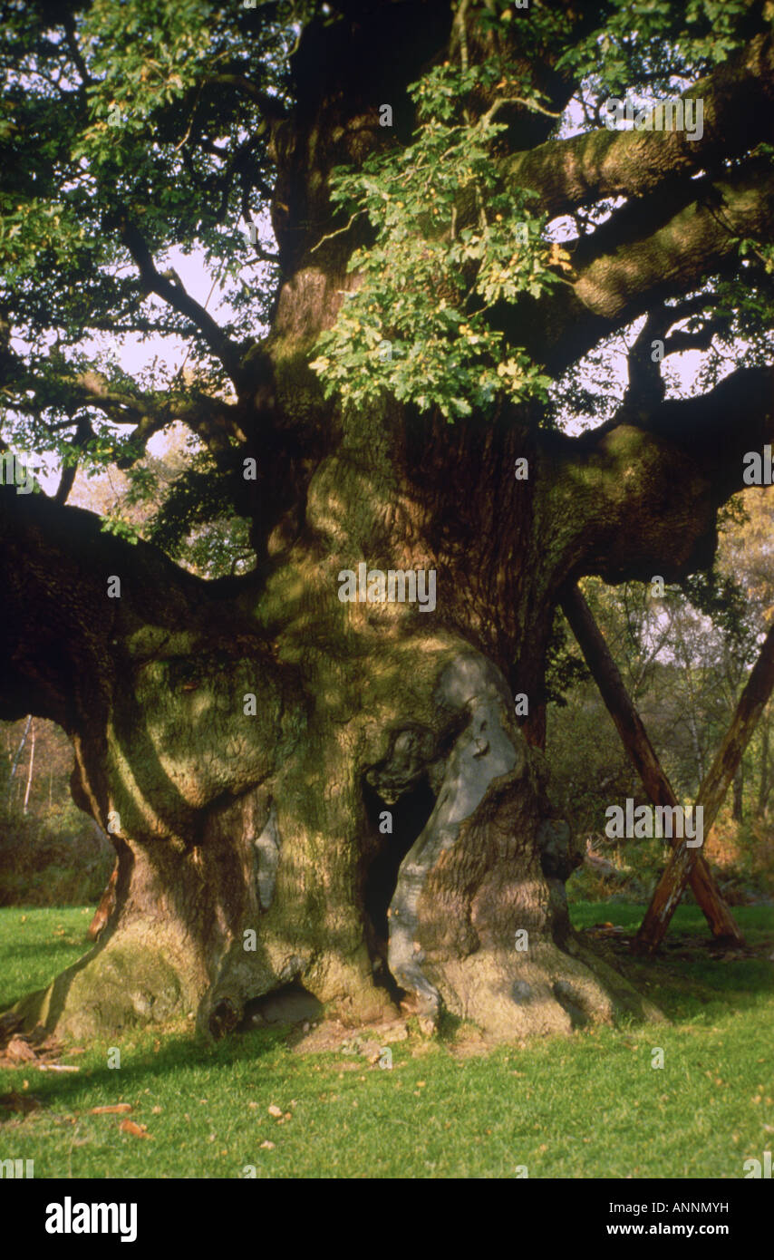 The Major Oak - according to tradition Robin and his Merry Men used to camp beneath the tree - Stock Image