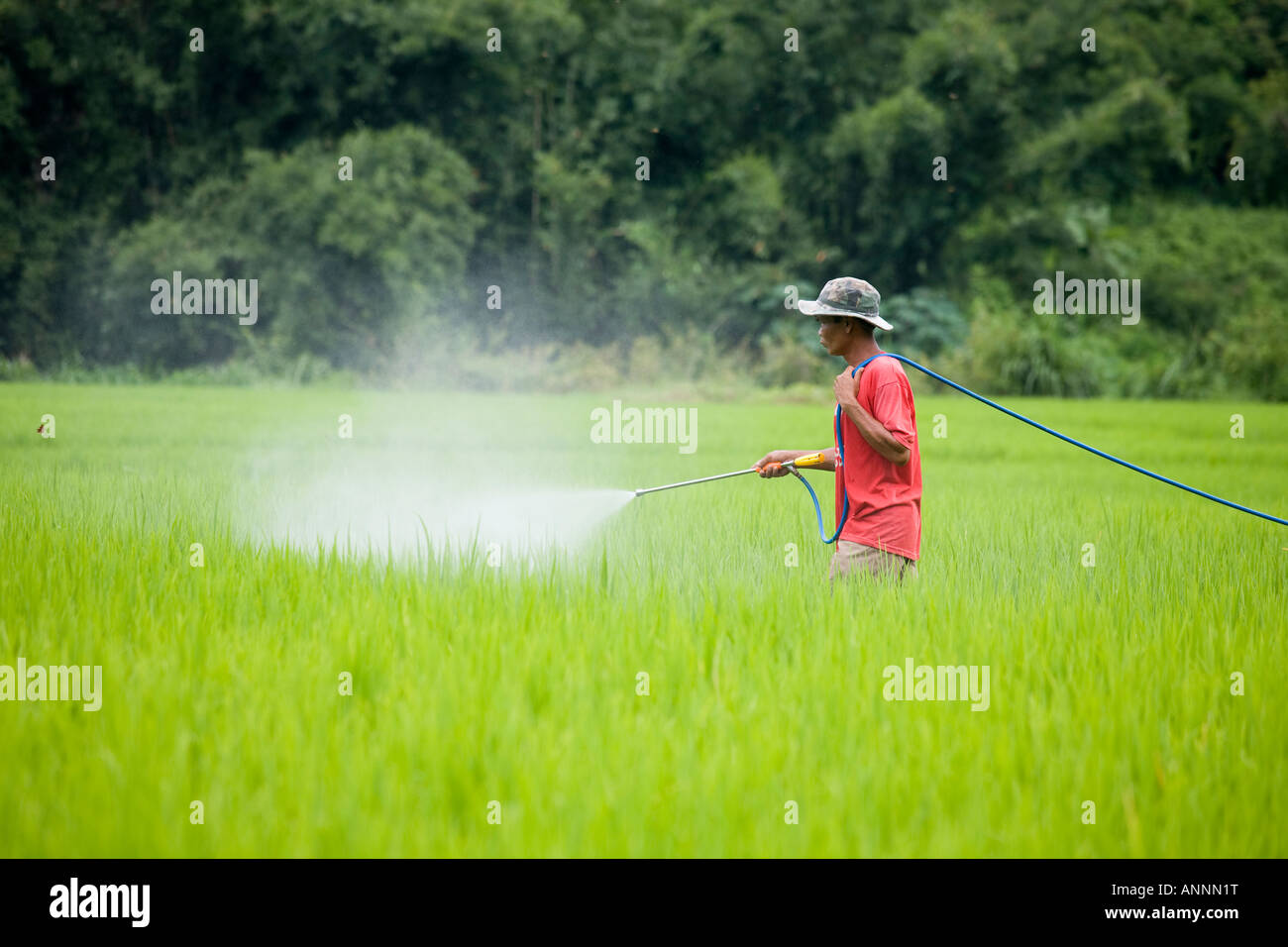 Asian man spraying pesticides on Growing Rice in Plantations,  Asia _Terraced Rice Fields Chiang Mai Thailand - Stock Image