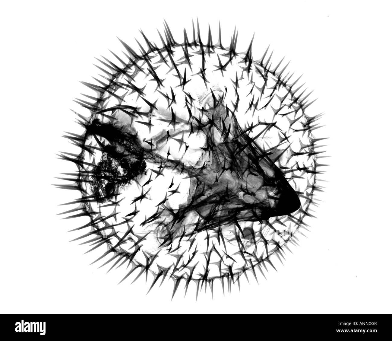 Porcupine puffer fish - Stock Image