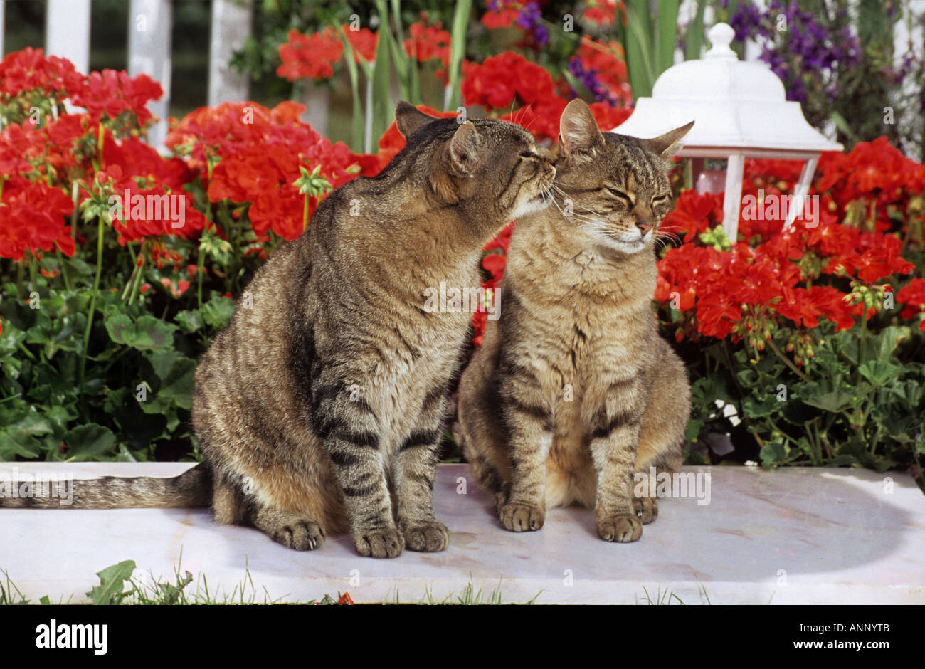 two tabby domestic cats - sitting in front of flowers - smooching - Stock Image
