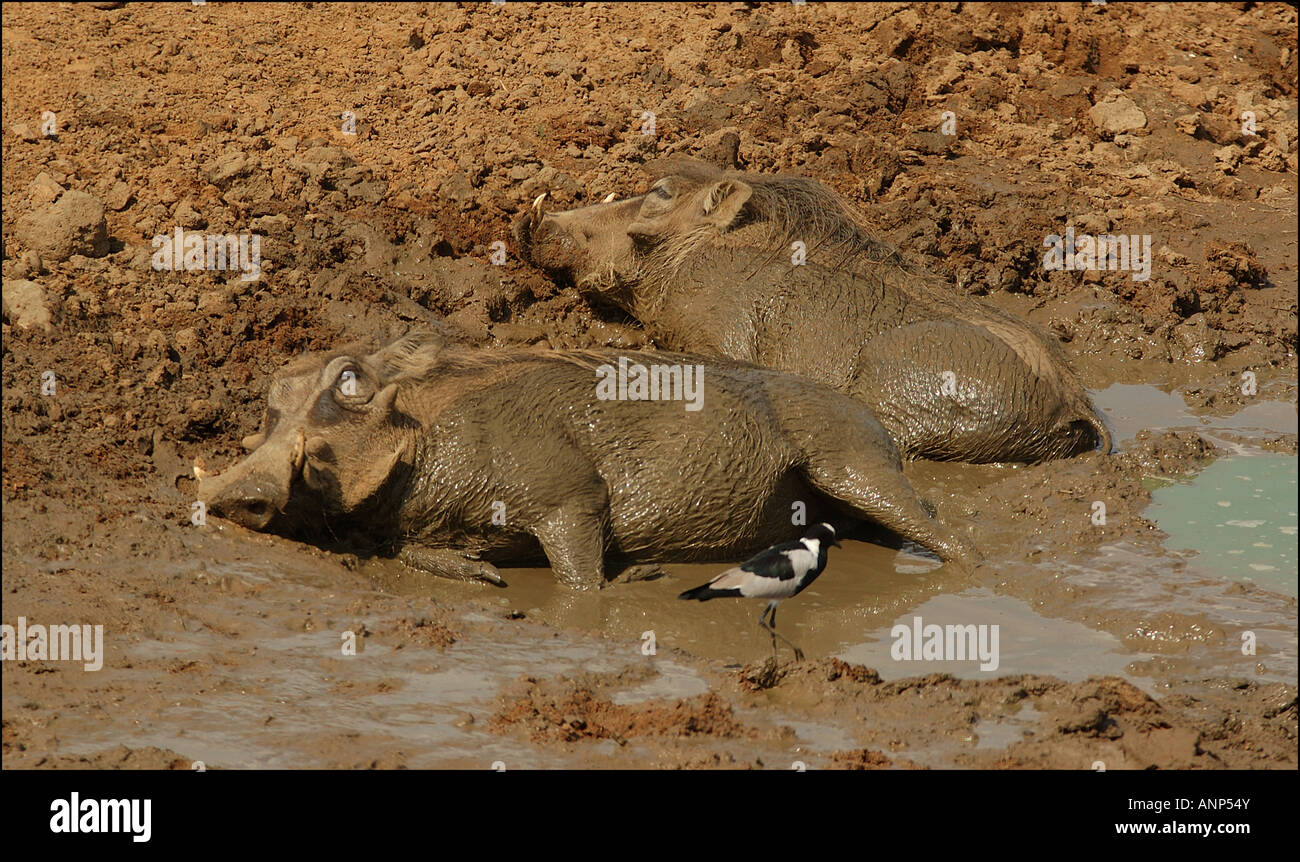 Two Wart Hogs cooling off in the mud. - Stock Image