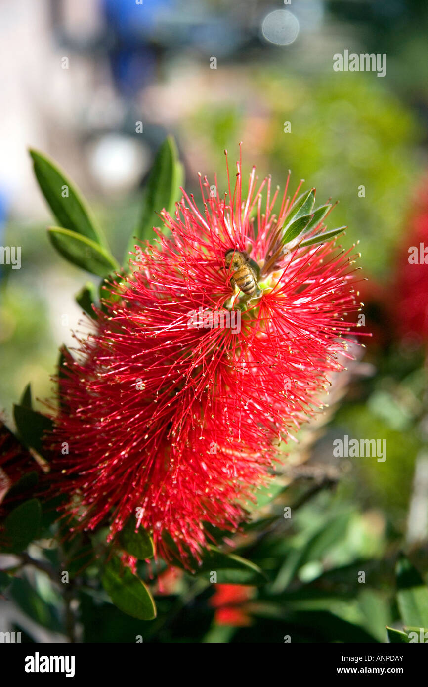 Crimson Bottlebrush and honey bee near Teotihuacan in the State of Mexico Mexico - Stock Image