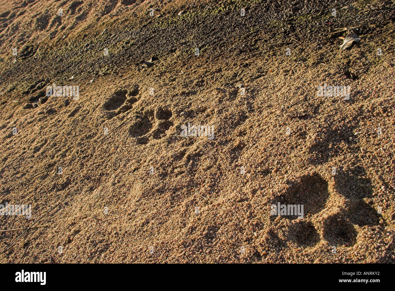 fresh lion paw prints show up clearly in the soft sand of a dry