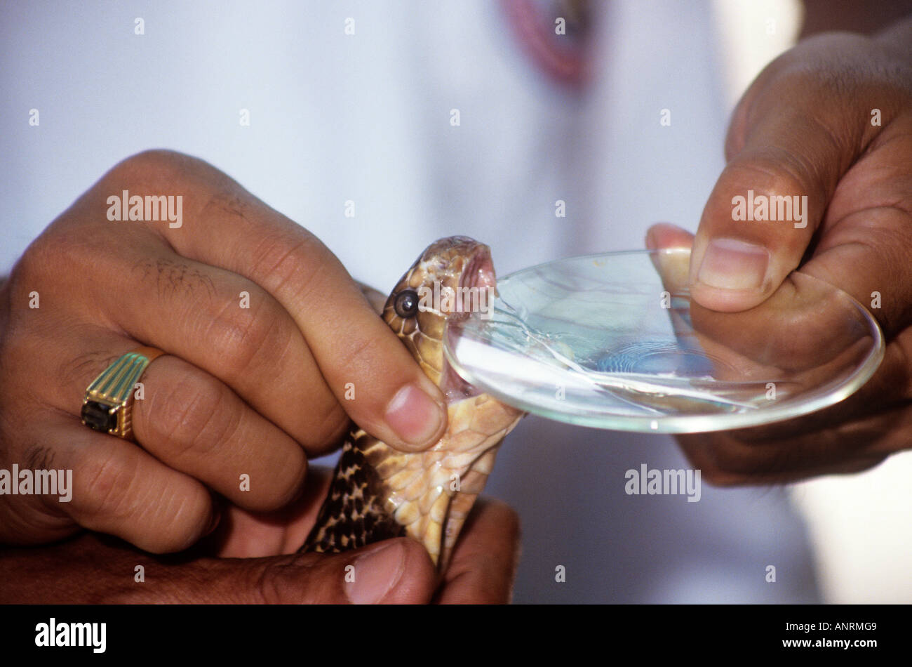 A couple of handlers in the tricky process of extracting the venom from a king cobra using a glass dish at the snake farm run by the Thai Red cross in Bangkok - Stock Image