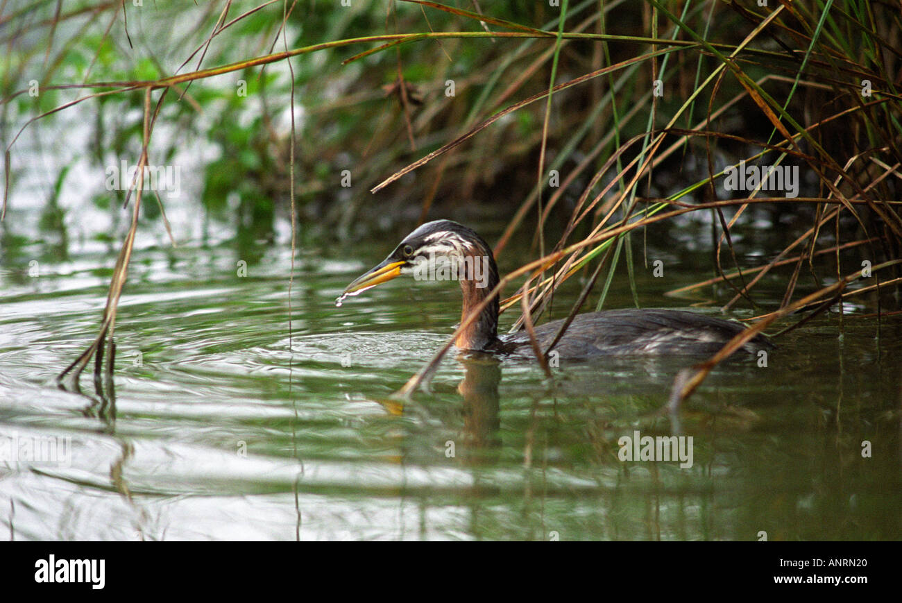 juvenile red necked grebe fishing in pond essex september 5th 2005 - Stock Image