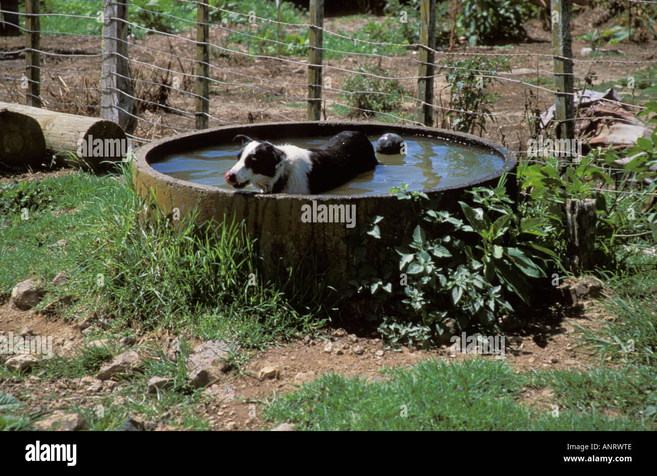 Sheep Farm New Zealand Waiheke Island Lucy cooling off in water trough - Stock Image
