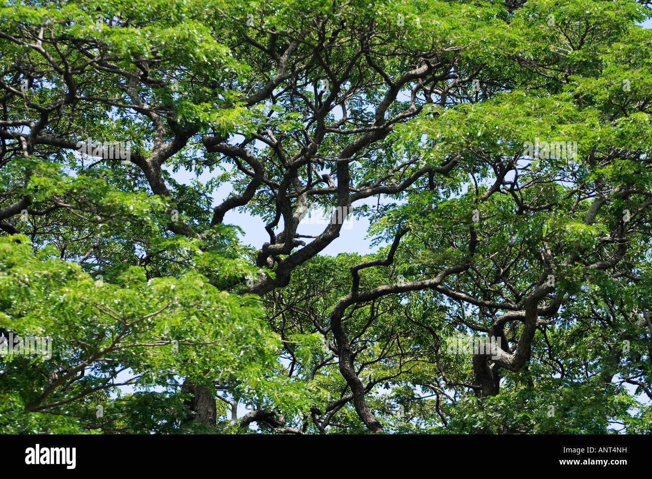 The Leaves And Branches Of An Acacia Tree Stock Photo 15593788 Alamy