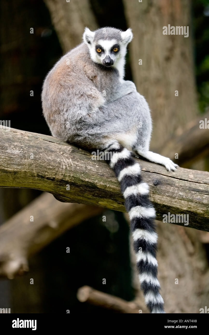 lemur monkey - Stock Image