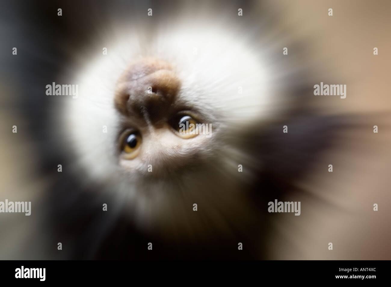 zoom on monkey - Stock Image