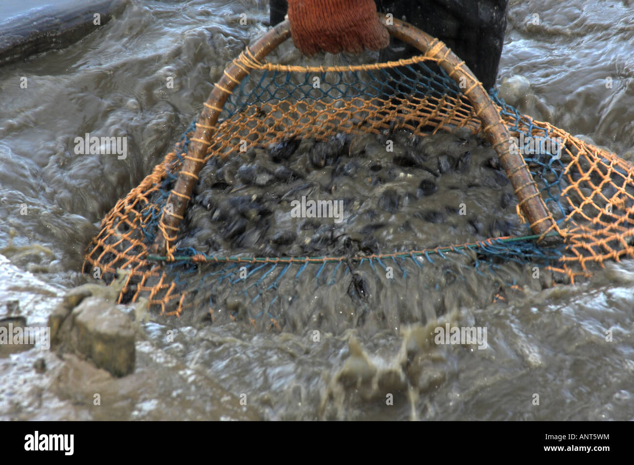 Hand cleaning Common mussels mytilus edulis in washing pit on saltmarsh Brancaster North Norfolk England - Stock Image