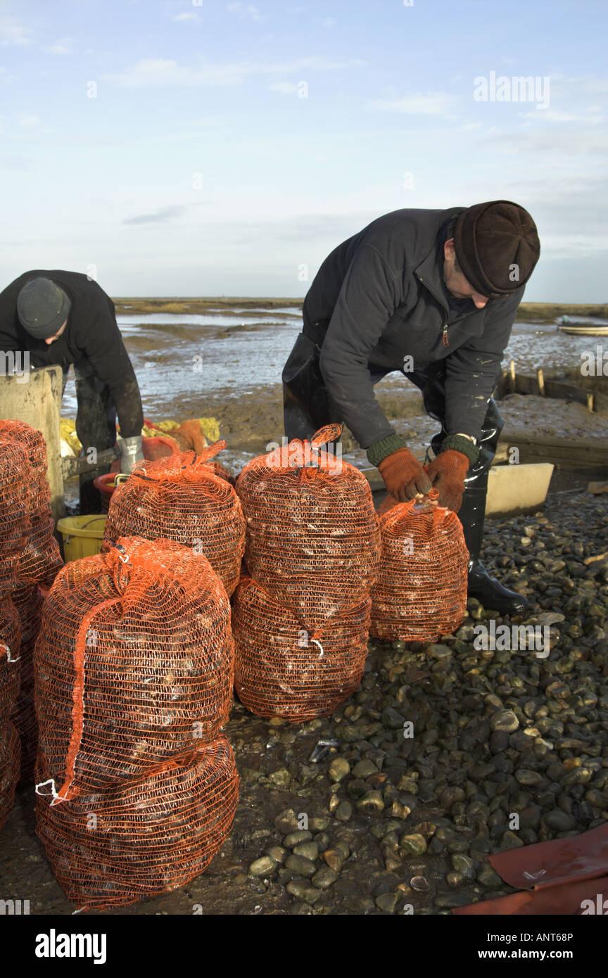 Hand grading Common mussels mytilus edulis on saltmarsh Brancaster North Norfolk England - Stock Image