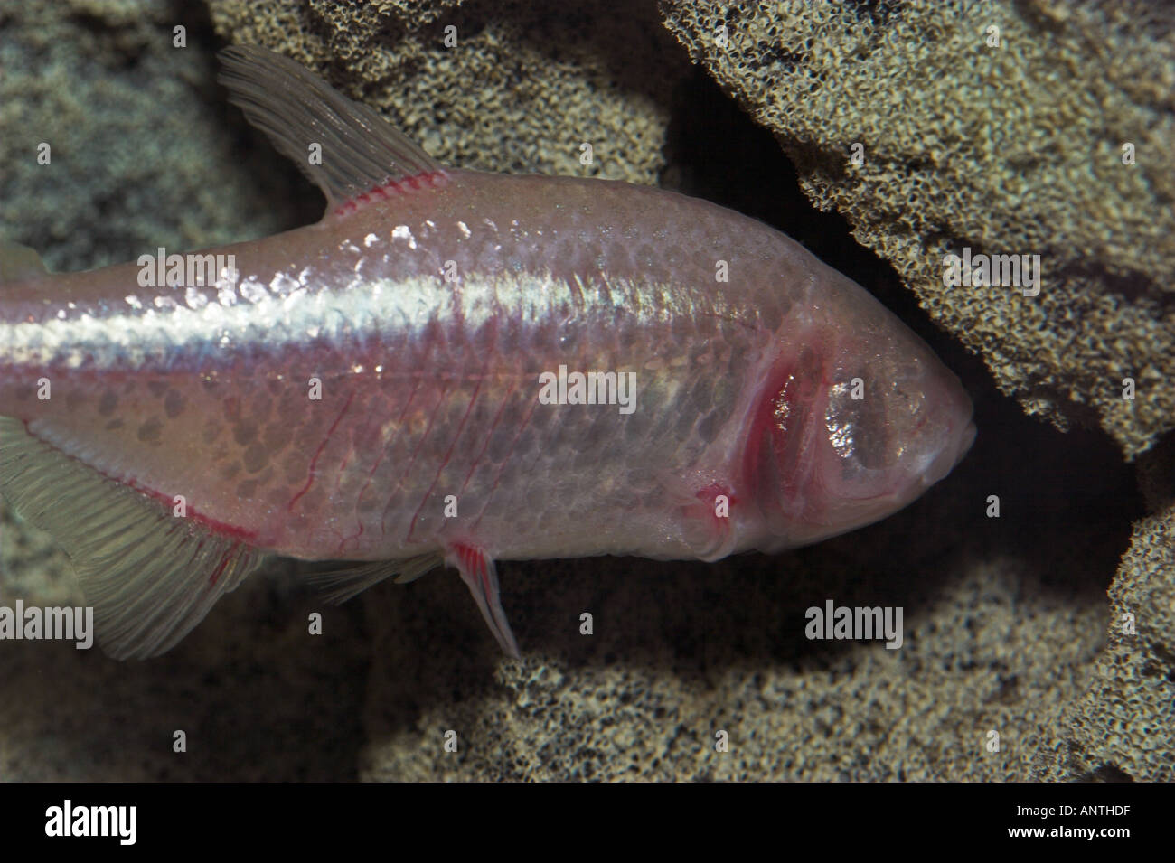 BLIND CAVE FISH Astyanax mexicanus - Stock Image