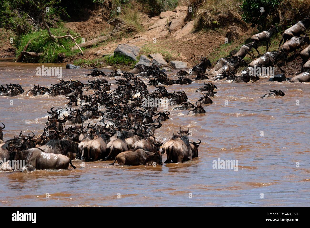 The Great Migration Wildebeast Crossing Mara River Masai Mara Kenya Africa. - Stock Image