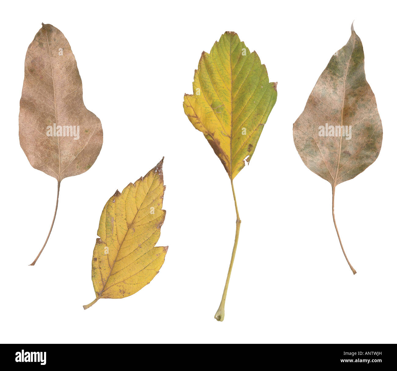 four fall leaves from varius palnts isolated on white background - Stock Image