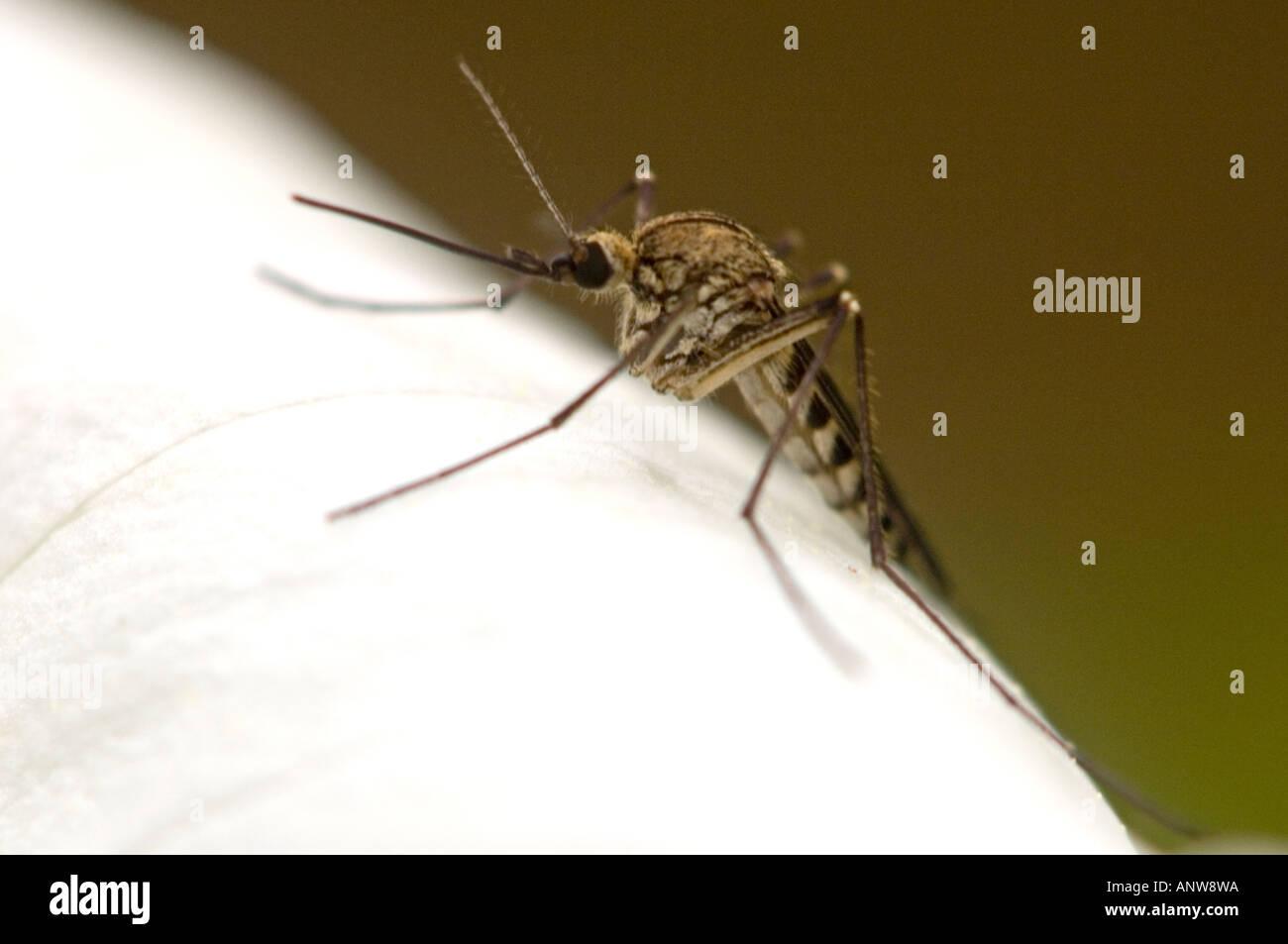 Mosquito resting on trillium flower Ontario - Stock Image